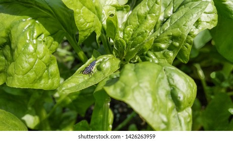 Photo of a ladybird beetle larva on green spinach plant