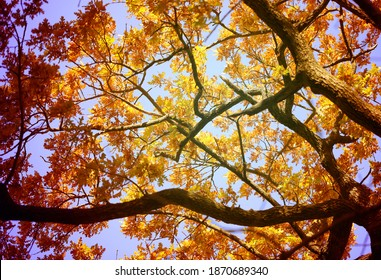 Photo landscape of a tree with autumn oak leaves. Example of an autumn background for a website or ad