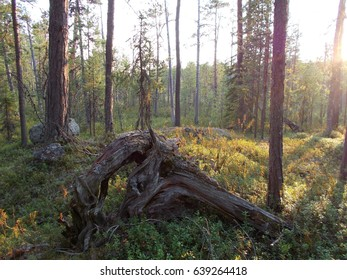 Photo of a landscape of unspoilt nature, rest, travel, image of a zizni, clean zozduh, Karelia, Finland, north, sand, Kalevala, Solovki Islands, Russia, sun,  Forest, snags, trees, lost, taiga, Glade