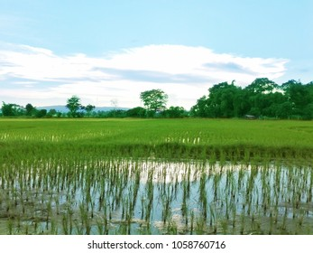 A photo of lanscape of paddle rice field in Thailand, Planting seeds in paddle, Water on rice fields,Traditional rice growing in south Asia.