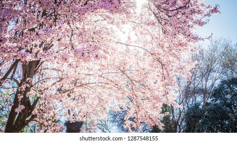 A photo of a large and beautiful almond tree with pink flowers in the Casa De Campo, which is a public park in Madrid, the capital of Spain, Europe. The photo was taken in spring on a lovely sunny day