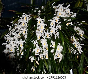 A photo of a large beautiful orchid species, known as Coelogyne cristata (Latin name) in bloom.