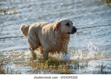 Photo of a large golden retriever playing