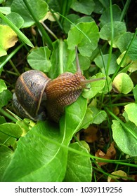 Photo of a large snail crawling along the grass close-up