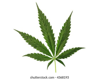 Photo of leaf of full-grown hemp.