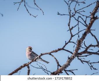 Photo of a Lesser Redpoll sitting in a birch tree