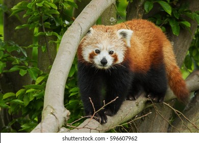 photo of a little beautiful cute Red Panda walking down the branch of a tree