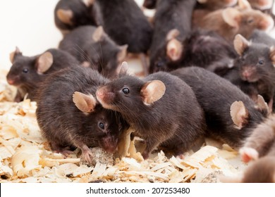 Photo of little brown and black laboratory mouses