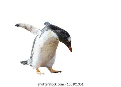 Photo of a little Gentoo penguin isolated on the white background