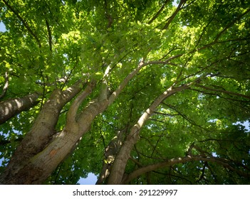 Photo looking upwards into canopy of maple trees showing dense green foliage of maple trees, large trunks and smaller limbs