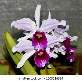 A photo of a lovely purple orchid species, known as Laelia purpurata (Latin name).