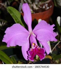 A photo of a lovely purple orchid species, known as Cattleya mossiae (Latin name).