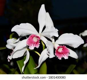 A photo of a lovely white and pink orchid species, known as Laelia purpurata (Latin name).