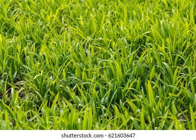 Photo lush green lawn in sunlight.