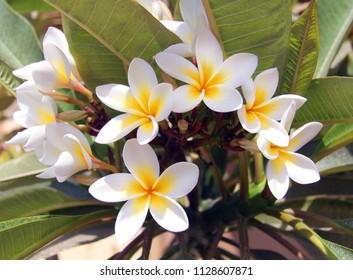 Photo of a macro background of white plumeria in the garden