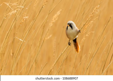 Photo of a male Bearded Reedling (Panurus biarmicus) also know as a Bearded Tit perched on a reed stem in a reed bed. Copy space.