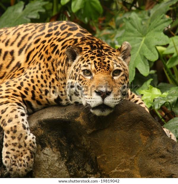 A photo of a male jaguar (Panthera onca)
