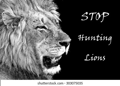 Photo of male lion with battle scars and inscription to stop hunting lions