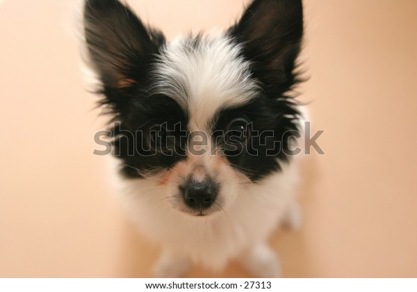 Photo of male Papillon. His name is Benny.