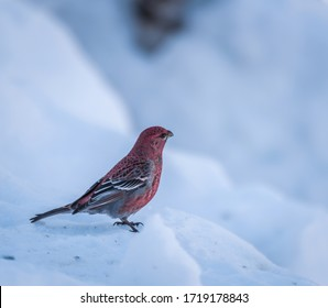 Photo of a male pine grosbeak sitting on the snow