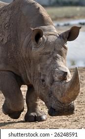photo of male rhinoceros approaching us