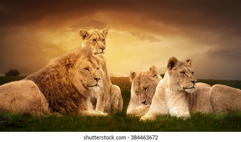 Photo manipulation of African lions resting at sunset in the grass.