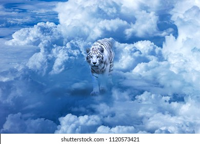 Photo manipulation with one white tiger looking to the camera,  walking on the clouds in dramatic sky.
