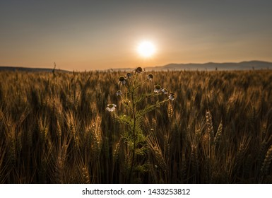 Photo of a Mayweed flower rising above a field of grain. The morning sun is rising, just above the blurry outline of a set of hills on the horizon