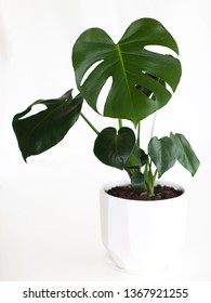 A photo of a Monstera Deliciosa (Swiss Cheese plant) with dark green glossy leaves in a white pot isolated on a white background, with white space for text.