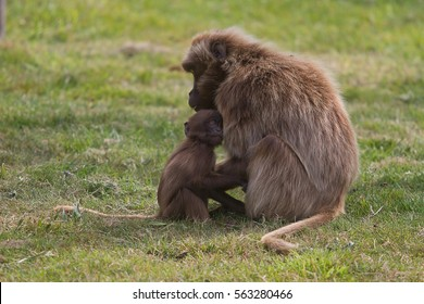 photo of a mother and baby Gelada Baboon