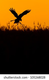 Photo of a nesting Marsh harrier (Circus aeruginosus) female in flight over a reed bed silhouetted in the early morning light, Norfolk, England, UK