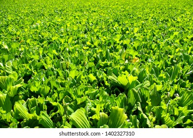 Photo of numerous bright green pistia plants, covering the surface of a river. Water lettuce / water cabbage.