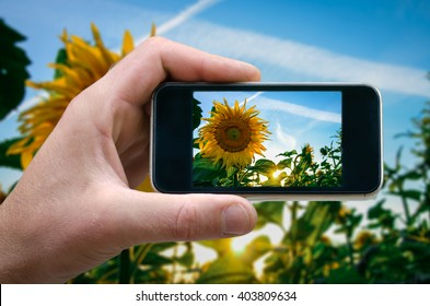 photo on the phone, the person photographed on a smartphone from the side. sunflower, field of sunflowers on a background of the setting sun. selfie