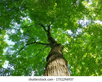 Photo on Saturday 6 June 2020 Location Kortright Centre for Conservation 9550 Pine Valley Dr, Woodbridge, ON L4L 1A6  CANADA  Maple tree