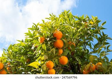 Photo of an orange tree in the famous resort Malaga, Costa del Sol, Spain