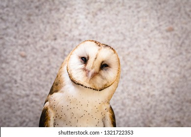 Photo of an owl in macro photography, high resolution owl cub photo. Owl of the Towers (Tyto furcata or Tyto alba), Also known as church owl. Face of an bird.