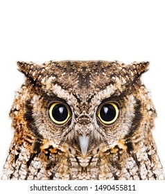 Photo of an Owl in macro photography, high resolution photo of owl cub. The bureaucratic owl, also called field-buckthorn, field owl, owl-owl, buck-owl, owl-owl, guede, urucura, urucurian and urucuriá