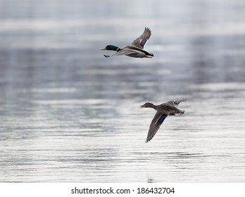 photo of pair of flying ducks. Drake is in upper position.