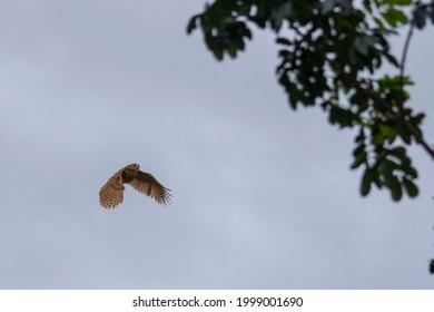 photo of the Pel's Fishing Owl in flight