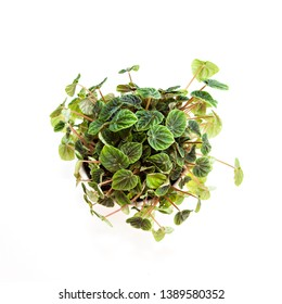 A photo of a Peperomia (Peperomia caperata) pot plant, also known as the Desert Privet Plant or Radiator Plant, with ribbed, dark green leaves, photographed from above, isolated on a white background.