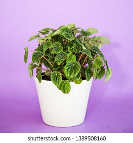 Photo of a Peperomia (P. magnoliifolia) pot plant, also known as the Radiator Plant and Desert Privet Plant, with deeply wrinkled, dark green leaves, in a white pot, isolated on a purple backgrond.