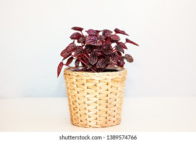 A photo of a Peperomia Ruby Ripple pot plant (Peperomia caperata), with deeply ribbed, burgundy/maroon leaves, planted in a basket, isolated on a white background.