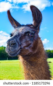 photo of photogenic llama with blue skies and green grassy field