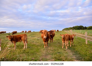 Photo Picture of Curious adult female french brown cow in a meadow