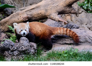 Photo Picture of Lesser Red Panda Firefox Mammal Animal