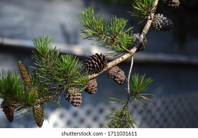 Photo of the Pineneedles and cones of a Virginia pine.
