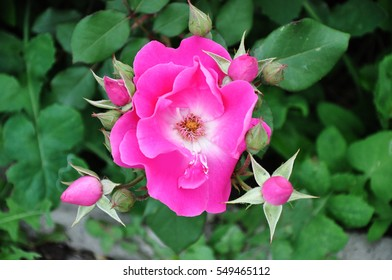 Lotus flower stock photo image royalty free 237522232 shutterstock photo of pink flower with thorns on a background of green bush and flower beds mightylinksfo