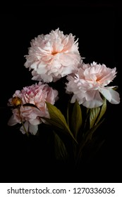 Photo pink flowers peonies on black background.