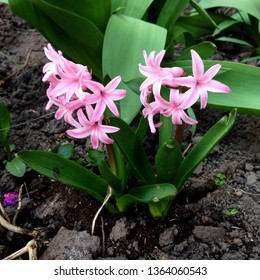 Photo of a pink hyacinth flower. Background of hyacinth with pink buds and green leaves
