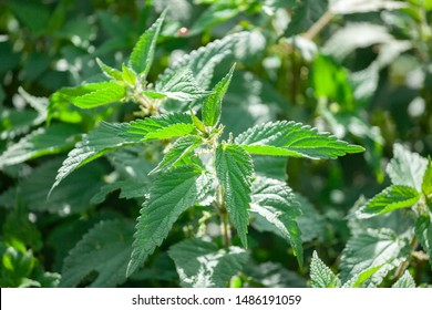 Photo of a plant nettle. Nettle with fluffy green leaves. Background Plant nettle grows in the ground. Plant.